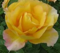 rose du petit prince