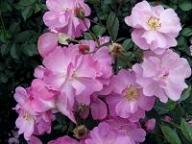 Rose Lavender Dream Foto Brandt