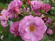 Rose Lavender Favourite