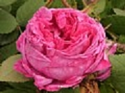 Rose Louise Verger  Foto Groenloof