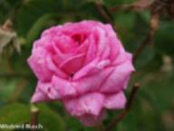 Rose Oeillet Flamand Foto Rusch