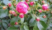Rose Peter Lambert