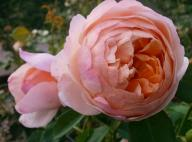 Rose Peter Paul Rubens Foto Myroses