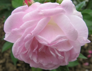 Rose Peter Rosegger