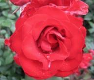 Rose Pretty Sunrise Yann Arthus-Bertrand® Bodendeckerrose Pretty Sunrise syn