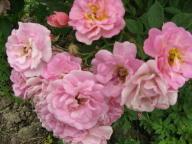 rosensorten duftrosen rosend rosendal rosendorf. Black Bedroom Furniture Sets. Home Design Ideas