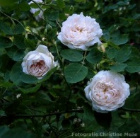 Rose Aennchen von Tharau Foto Christine Meile