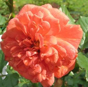 Rose Allgäu-Glück
