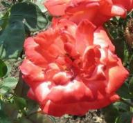 Rose Alte Liebe Foto Mail-Brandt