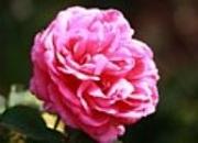 rosensorten duftrosen ame amelia earhart amelia renaissance amelie de mansfield america. Black Bedroom Furniture Sets. Home Design Ideas