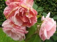 Rose Andenken an Alma de L`Aigle Foto Brandt