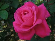 Rose Maria Callas Foto Wikipedia