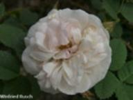 Rose Mannings Blush Foto Rusch