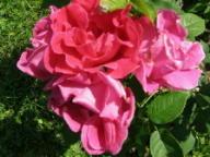 Rose Meteor