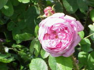 Moosrose Mme William Paul Foto Wikipedia