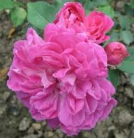 Geschwindrose Rotkäppchen im Rosarium Baden bei Wien