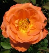 Rose Reigen