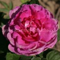 Rose Rembrandt Foto Schultheis