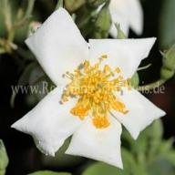 Rosa moschata Foto Schultheis