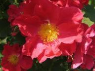 Rose Rosenfest