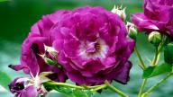 rosensorten duftrosen rosend rosendal rosendorf schmitshausen steinfurth 04. Black Bedroom Furniture Sets. Home Design Ideas