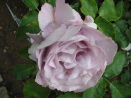 rosensorten duftrosen rosenm rosenm rchen rosenmalerin. Black Bedroom Furniture Sets. Home Design Ideas