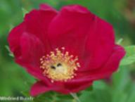 Rose Rote Hannover Foto Rusch