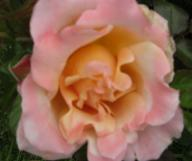 Rose Ruffle`s Dream Foto Brandt
