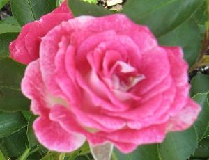 adr rosen gesunde rosen sabrina salmon meilove saremo satin haze satina schloss. Black Bedroom Furniture Sets. Home Design Ideas