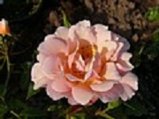 Rose Sussex Foto Groenloof