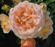 rose sweet pretty