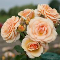 Rose Sweet Honey Foto Kordes