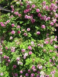 Rose Russeliana