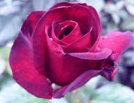 schwarze fast schwarze rosen black roses u a black baccara barkarole black boy orpheline. Black Bedroom Furniture Sets. Home Design Ideas