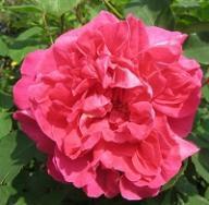 Rose Tam O`Shanter
