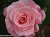 Rose Tickled Pink Foto Rusch