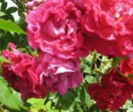Rose Trompeter von Säckingen