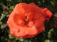 Rose Uwe Seeler
