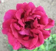 Rose Victor Hugo (Schwartz) Foto Brandt