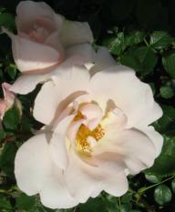 adr rosen gesunde rosen taora tascaria topolina tornado. Black Bedroom Furniture Sets. Home Design Ideas