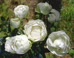 Rose Weisse Muttertag