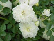 Rose White Bells Foto Wikipedia