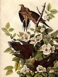 Audubon Carolina Rose mit Küstenfink Foto Wikipedia